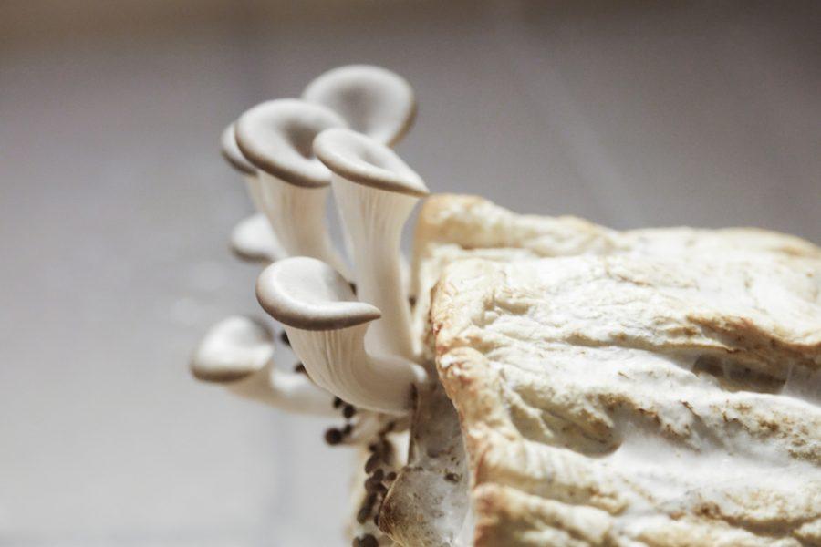Pleurotus Ostreatus on toilet paper